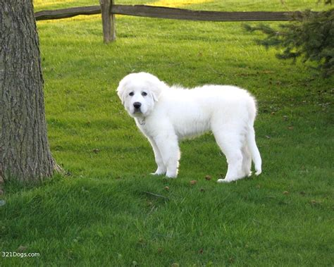 free great pyrenees puppies great wallpapers for pc