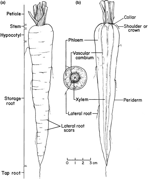 longitudinal section anatomy images from carrots and related vegetable umbelliferae