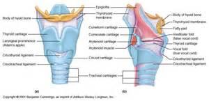 Structure of throat diagram anatomy anatomy body diagram