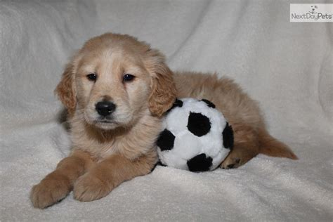 golden retriever puppy michigan golden retriever puppy for sale near grand rapids michigan b816f828 4f81