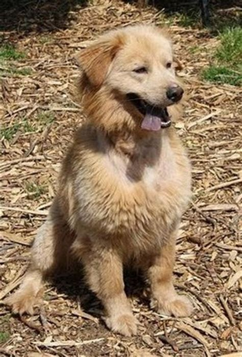 golden retriever chow puppies chow chow and golden retriever mix