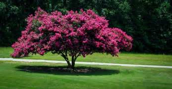 Flowering Japanese Trees - crepe myrtle crepe myrtle trees the tree center