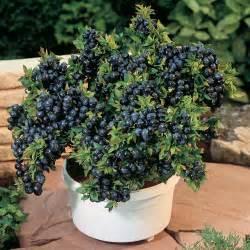 American cranberry vaccinium macrocarpon 500x500 155kb
