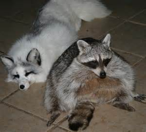 How Do You Keep Cats Out Of Your Garden by Care Sheet For Raccoons