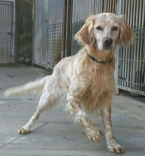 english setter dog adoption rubi english setter 5 bedford bedfordshire pets4homes