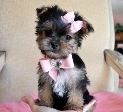teacup yorkie mixed with maltese teacup maltese terrier mix morkie puppy stuff juxtapost
