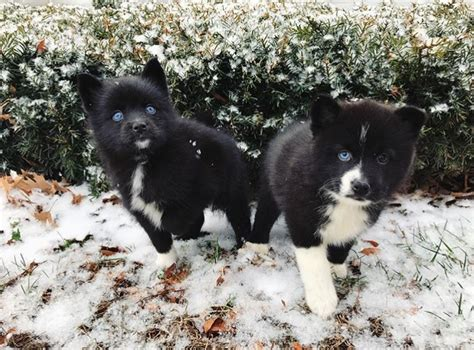pomeranian and siberian husky mix for sale view ad pomeranian siberian husky mix puppy for sale kentucky