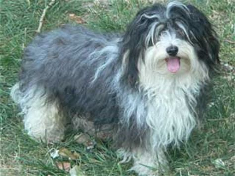 expectancy of a havanese havanese information and facts breeds