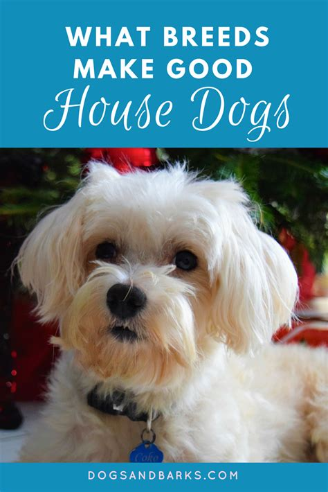 a good house dog what breeds make good house dogs dogs and bark