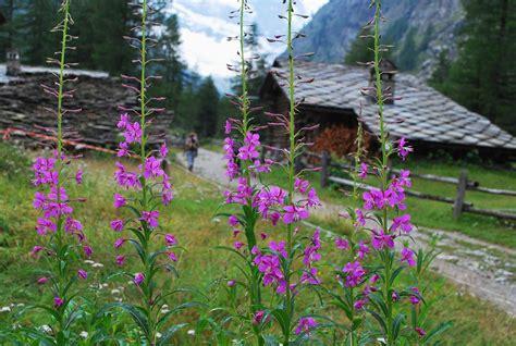 fiori di montagna primaverili fiori di montagna