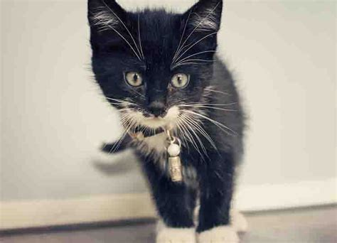 imagenes de gatas blancas nombres para gatos negros