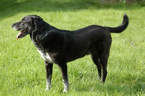 black breeds black lab pointer mixed breed photograph