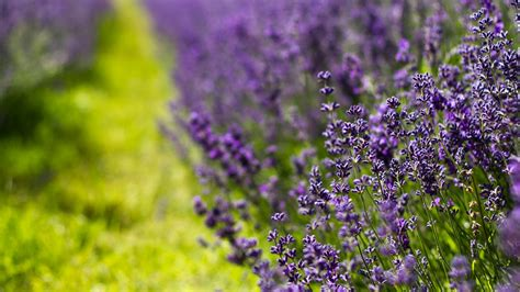 tapete lavendel lavender hd background picture image