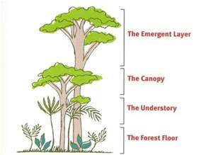 Canopy Layer Rainforest by Animals Plants Rainforest Ecological Canopy Layer Rainforest