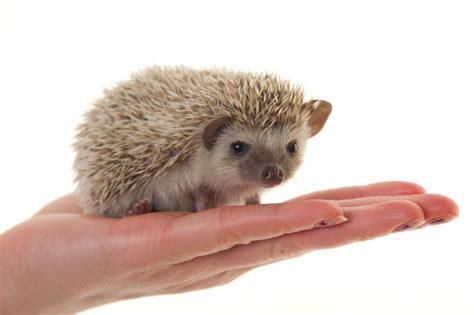 cute pygmy hedgehogs abingdon oxfordshire pets4homes