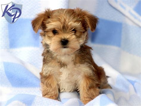 morkie puppies for sale in pa terrier pomeranian mix