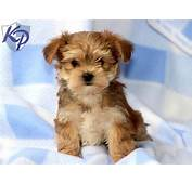 Yorkshire Terrier Pomeranian Mix