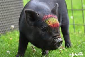 euro 2012 finals spain vs italy micro pig images petpiggies