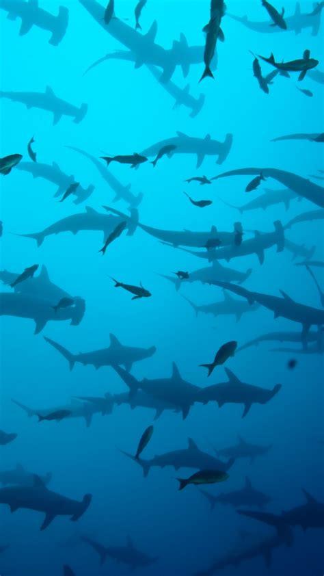 Hammerhead Shark Wallpaper