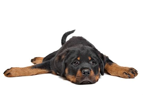 rottweiler puppies in louisiana rottweiler puppy www pixshark images galleries with a bite