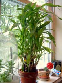 lucky bamboo care growing dracaena sanderiana