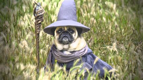 pug lord the wise gandalf pug