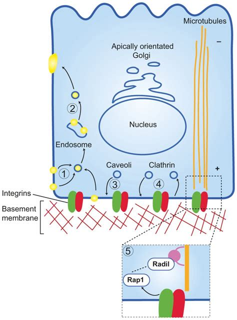 integrins  epithelial cell polarity journal  cell