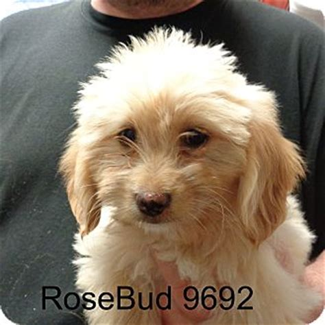 golden retriever poodle mix rescue hagerstown md golden retriever poodle miniature mix meet rosebud a puppy for