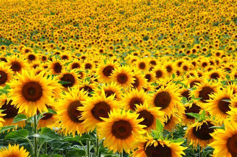 fiore giallo significato qual 232 il significato dei fiori gialli