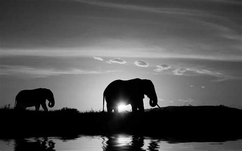wallpaper elephant black white free elephant black and white wallpapers mobile 171 long