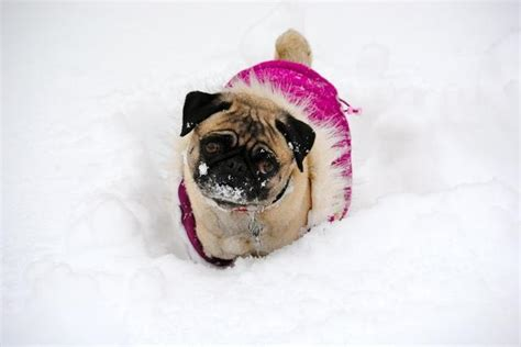 pug in snow 1000 images about snow pugs on
