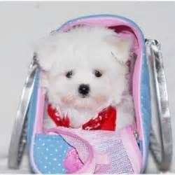puppies for sale bloomington il dogs bloomington il free classified ads