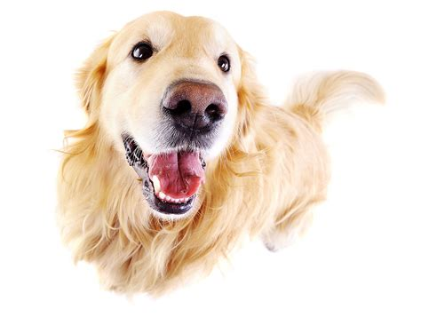 labrador or golden retriever which one is better labrador retriever vs golden retriever which breed is best