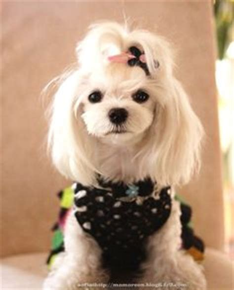 maltese dog cottony hair summer too cute and style on pinterest