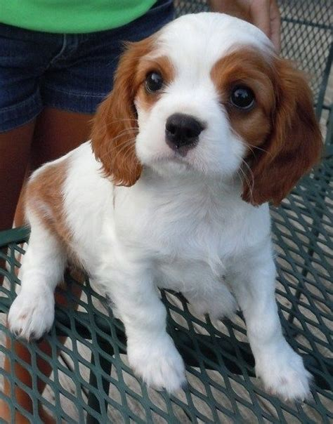 teacup cavalier king charles spaniel puppies for sale best 25 puppies for sale ideas on teacup puppies for sale animals for