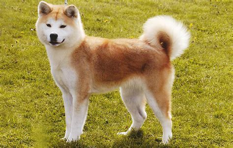 hachi breed image gallery hachiko breed