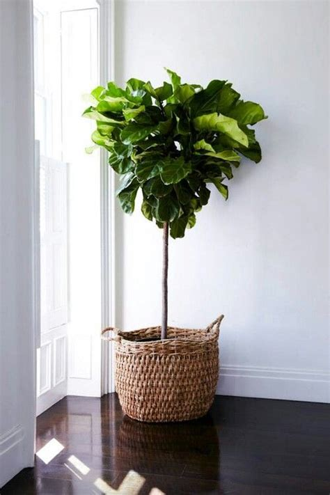 fiddle leaf fig fiddle leaf fig for days decorate with flowers plants