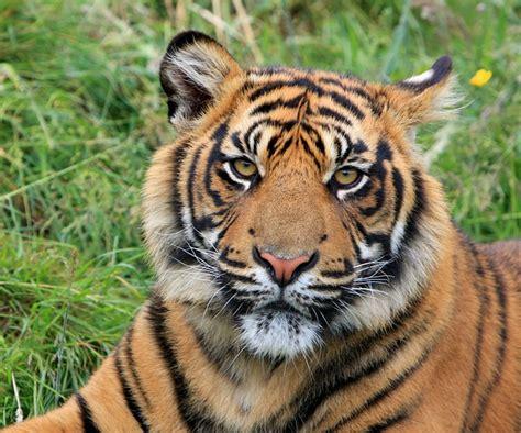 Inidia Cat 27 free photo tiger sumatran animal free image on