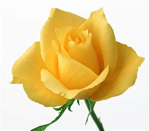 yellow roses valentines day yellow roses for valentines day 7 kenneth keegan funeral