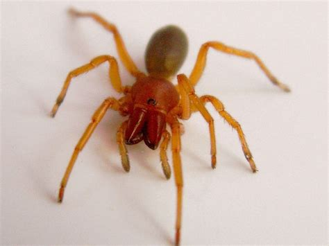 red house spider 6 pictures of red and brown spider in spider biological