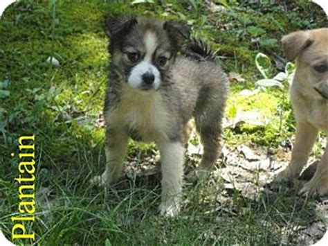 pug collie mix plantain adopted puppy spruce pine nc border collie pug mix