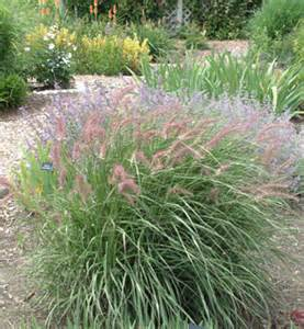 fountains of ornamental grasses companions for perennials