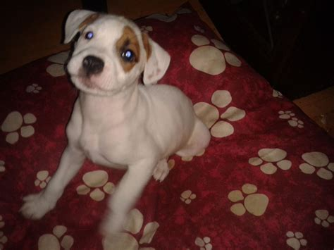 bulloxer puppies for sale bulloxer pups boxer xbulldog pups manchester greater manchester pets4homes