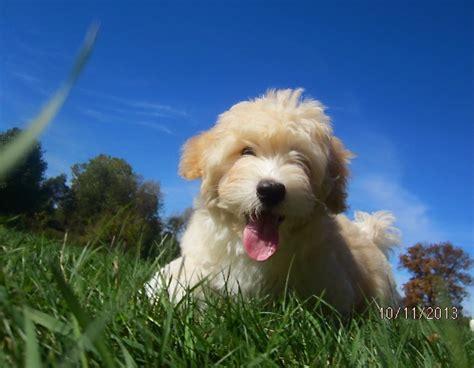 havanese characteristics the havanese havanese puppys