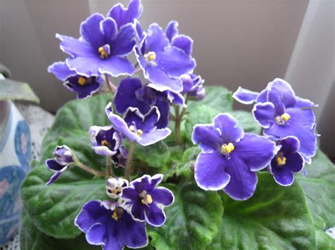 african violet 301 moved permanently