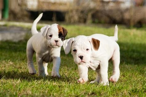 how much to feed a boxer puppy boxer puppies rescue pictures information temperament characteristics animals