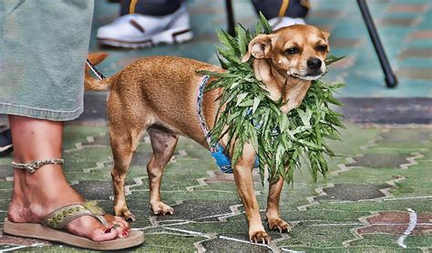 marijuana and dogs marijuana for dogs everything you need to