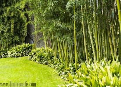 pohon bambu hias pelengkap keindahan landscape taman