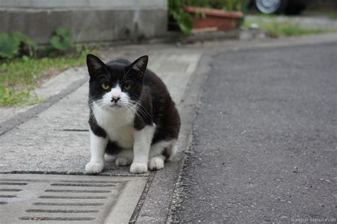 cat in cats in japan