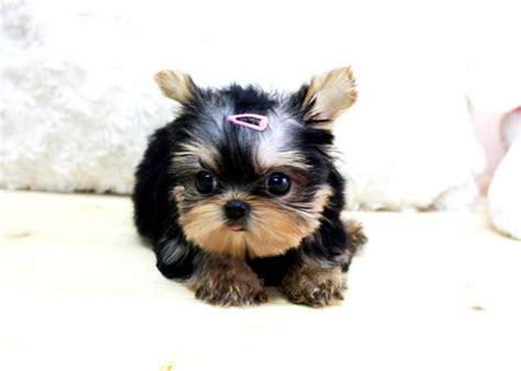 teacup yorkies for sale in tennessee cheap yorkie teacup for sale in nc breeds picture